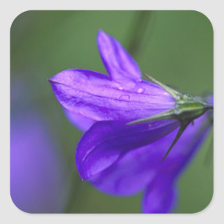Bluebell flower in Independence Pass in Square Sticker