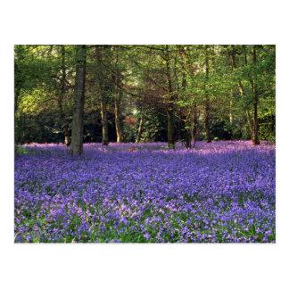 Bluebell Woods, England Postcard