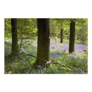 Bluebells in Clapdale Wood, The Yorkshire Dales Photo Print
