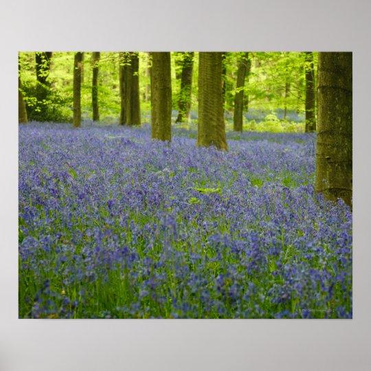 Bluebells in West Wood Lockeridge Marlborough 2 Poster