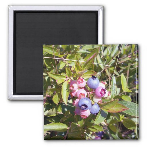 Blueberries 1 Magnet