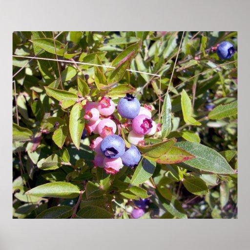 Blueberries 1 Poster