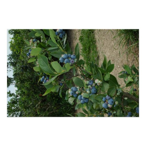 Blueberries Waiting to be Picked Posters