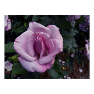 Blueberry Hill Rose Poster