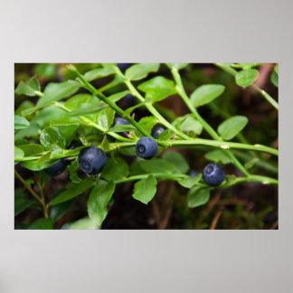 blueberry print