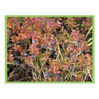 Blueberry shrub postcard
