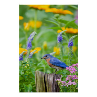 Bluebird male on fence post in flower garden poster