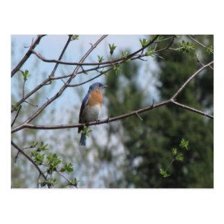 Bluebird on a tree post card