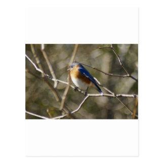 Bluebird Ornithology Post Card