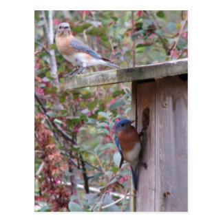 Bluebird Pair Postcard