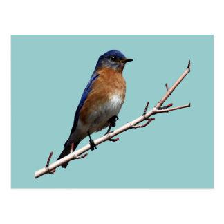 Bluebird Postcard
