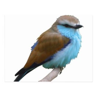 Bluebirds Postcards