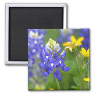 Bluebonnet with gold Flowers Square Magnet