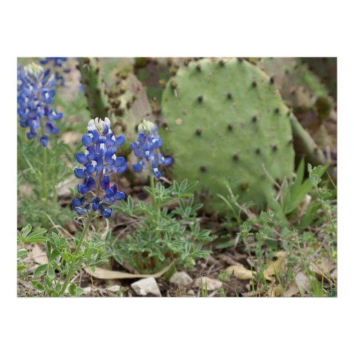 Bluebonnets and Prickly Pear Poster