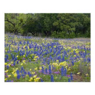 Bluebonnets, primrose, and phlox poster