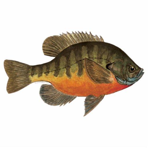 Bluegill bream zazzle for Fish safe paint
