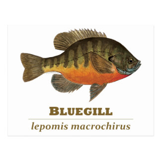Bluegill Bream Fishing Postcard