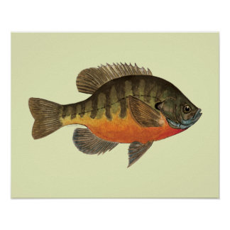 Bluegill Bream Poster
