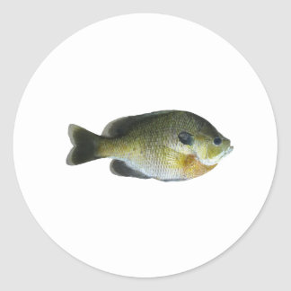 Bluegill Sunfish Photo Classic Round Sticker