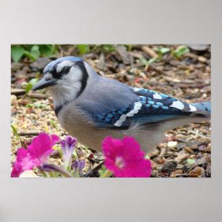 Bluejay Bird Print