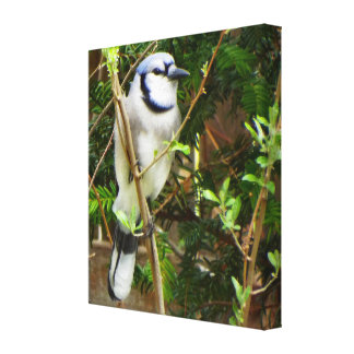 Bluejay spring canvas print