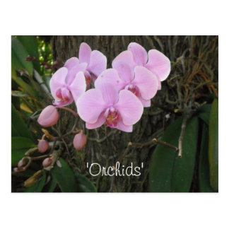 Blushing Pink Orchids Postcard