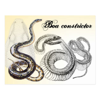 Boa Constrictor and its Skeleton Postcards