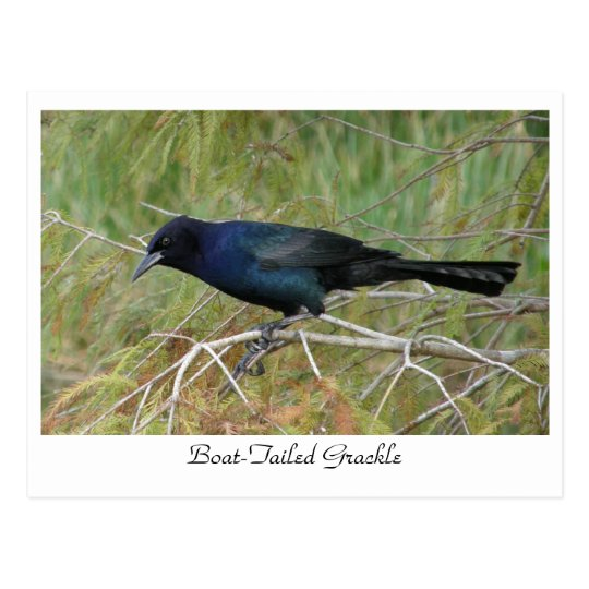 Boat-Tailed Grackle Postcard