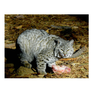 Bobcat ... Bearizona Postcard
