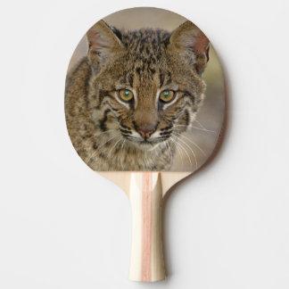Bobcat, Felis rufus, Wakodahatchee Wetlands,
