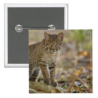 Bobcat, Felis rufus, Wakodahatchee Wetlands, 15 Cm Square Badge