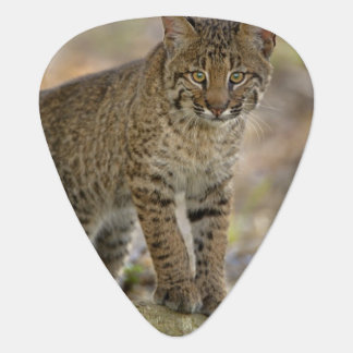 Bobcat, Felis rufus, Wakodahatchee Wetlands, Guitar Pick