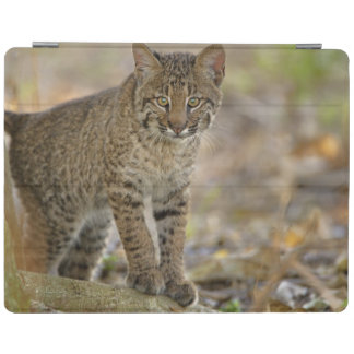 Bobcat, Felis rufus, Wakodahatchee Wetlands, iPad Cover