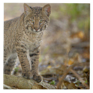 Bobcat, Felis rufus, Wakodahatchee Wetlands, Large Square Tile