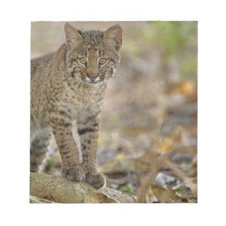 Bobcat, Felis rufus, Wakodahatchee Wetlands, Notepad