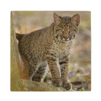 Bobcat, Felis rufus, Wakodahatchee Wetlands, Wood Coaster