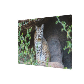 Bobcat Gazing Intently Canvas Print