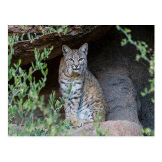Bobcat Gazing Intently Postcard