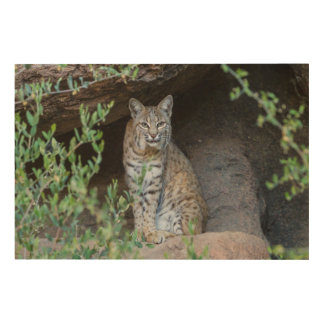 Bobcat Gazing Intently Wood Wall Decor