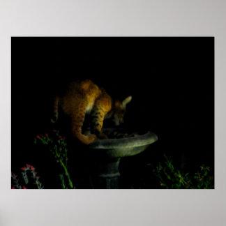 Bobcat in Birdbath Poster