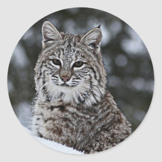 Bobcat in the Snow Classic Round Sticker