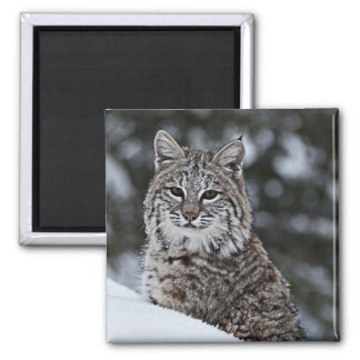 Bobcat in the Snow Magnet