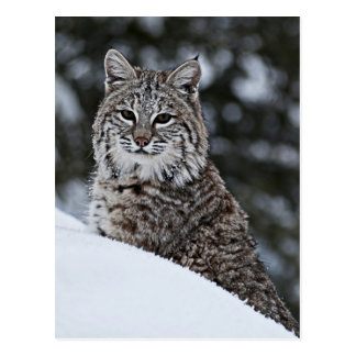 Bobcat in the Snow Postcard