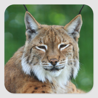 Bobcat, lynx beautiful photo sticker,  stickers