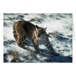 Bobcat on snow greeting cards