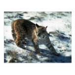 Bobcat on snow postcard
