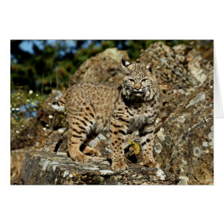 Bobcat on the Rocks Card