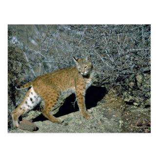 Bobcat Postcard