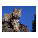 Bobcat skylined post card