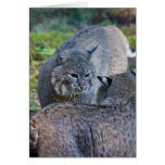 bobcats greeting cards